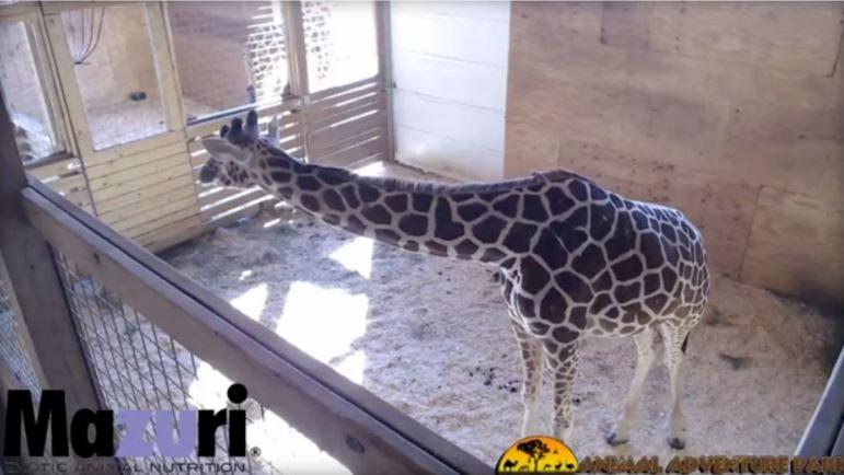 Giraffe birth video returns to YouTube