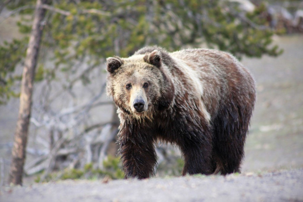 A grizzly bear, similar to the one pictured, was captured over the weekend in connection with attacks on cattle (MTN News)