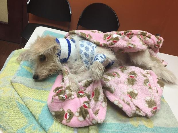 Callie recovering after a man allegedly threw her from a third-story apartment in Chicago. (Photo courtesy of Fetching Tails Foundation)