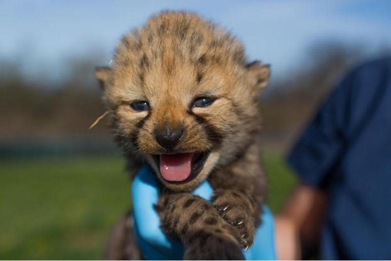 In March the Smithsonian Conservation Biology Institute welcomed 10 cheetah cubs born at their research center in Virginia. / SMITHSONIAN CONSERVATION BIOLOGY INSTITUTE