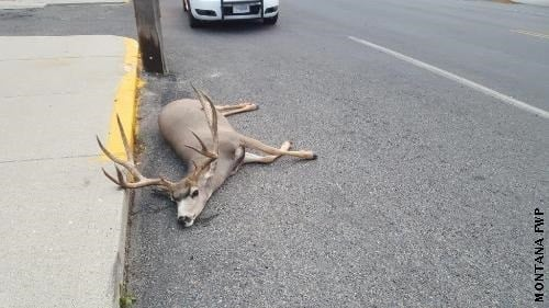 Fish Wildlife and Parks officials are investigating the possible shooting of a deer in Uptown Butte.