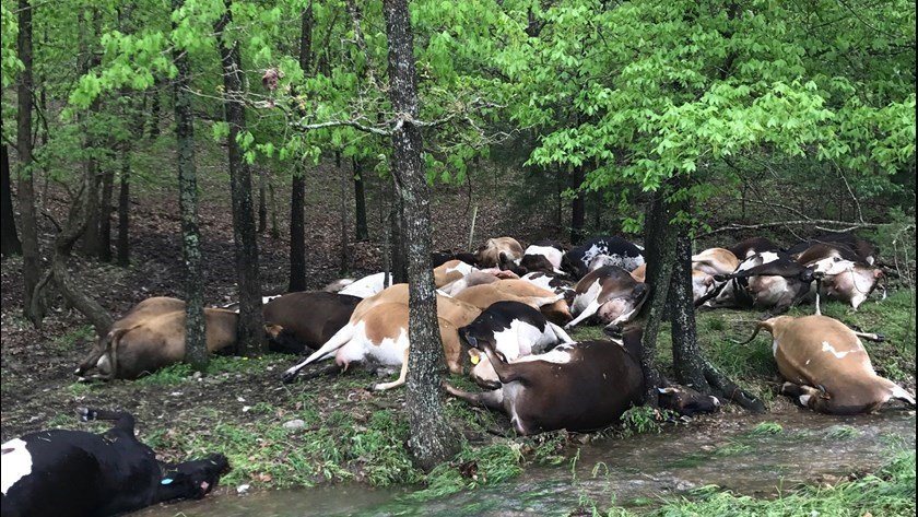 Lightning strike obliterates herd of dairy cows