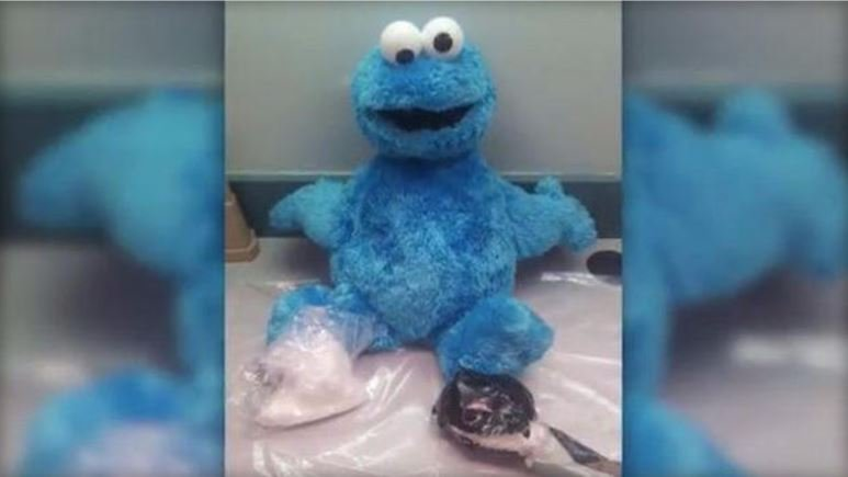More than 300 grams of cocaine were found inside a Cookie Monster toy in Key West, Florida. / CBS MIAMI