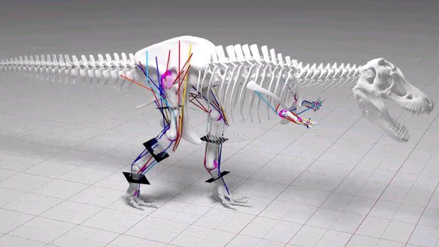 An image from digital modelling done by researchers at the University of Manchester, in northern England, shows a skeletal model of Tyrannosaurus rex walking. The modelling led the scientists to conclude that T. rex couldn't run. UNIVERSITY OF MANCHESTER