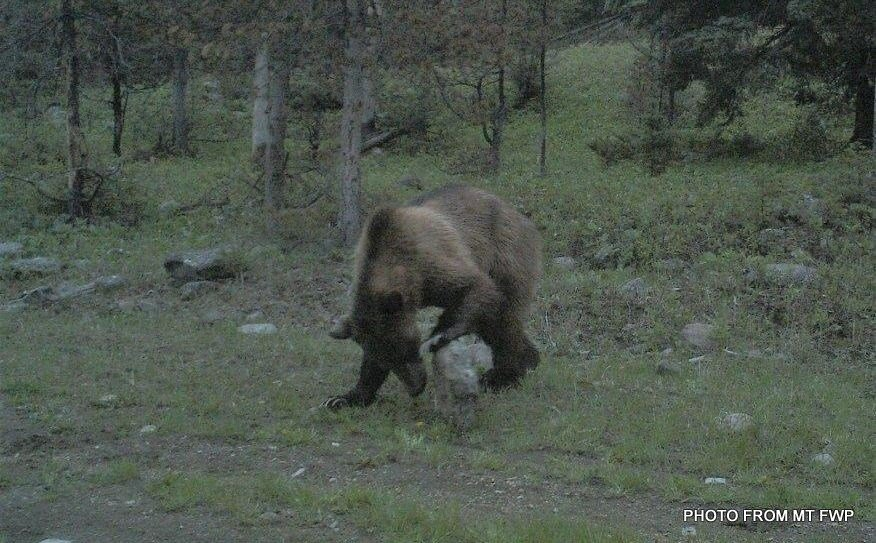 Grizzly bear seen west of White Sulphur Springs.