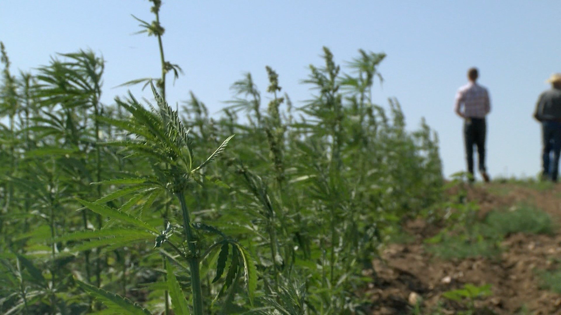 Senate Bill 261 passed in Montana in 2001, allowing the production of hemp as an agricultural crop. But, farming officials say it's taken the past 16 years to get the crop into the ground.