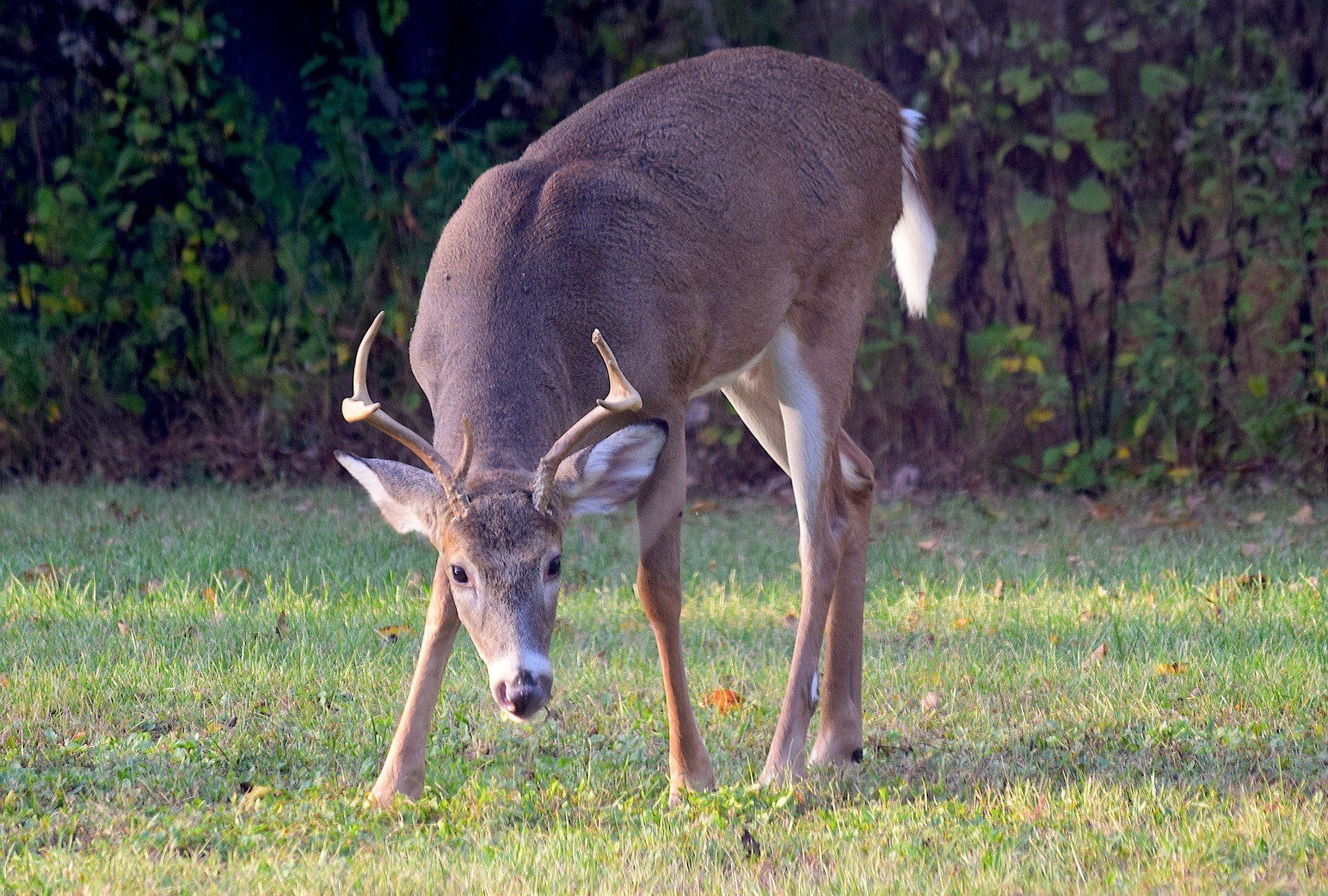 Chronic wasting disease was found in a white-tailed deer