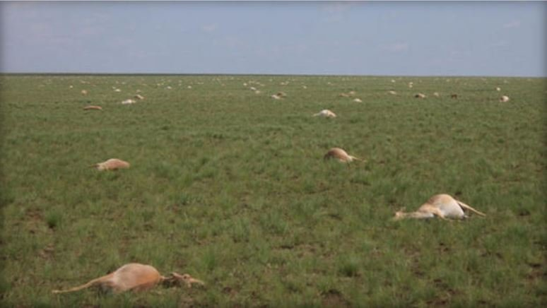 In May 2015, nearly half of all the saigas, a critically endangered antelope that roams the steppe of Kazakhstan, died off. Exactly why is still a mystery. / ALBERT SALEMGAREYEV