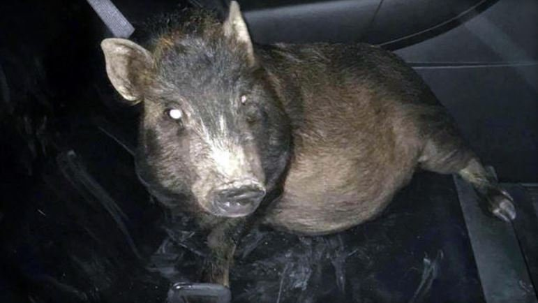 A pig named Zoey is seen in the back of a police cruiser.  NORTH RIDGEVILLE POLICE DEPARTMENT/FACEBOOK