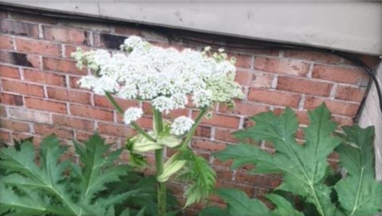 Giant hogweed, an invasive plant that can cause third-degree burns and even permanent blindness, has been found in Virginia and other states. / VT MASSEY HERBARIUM