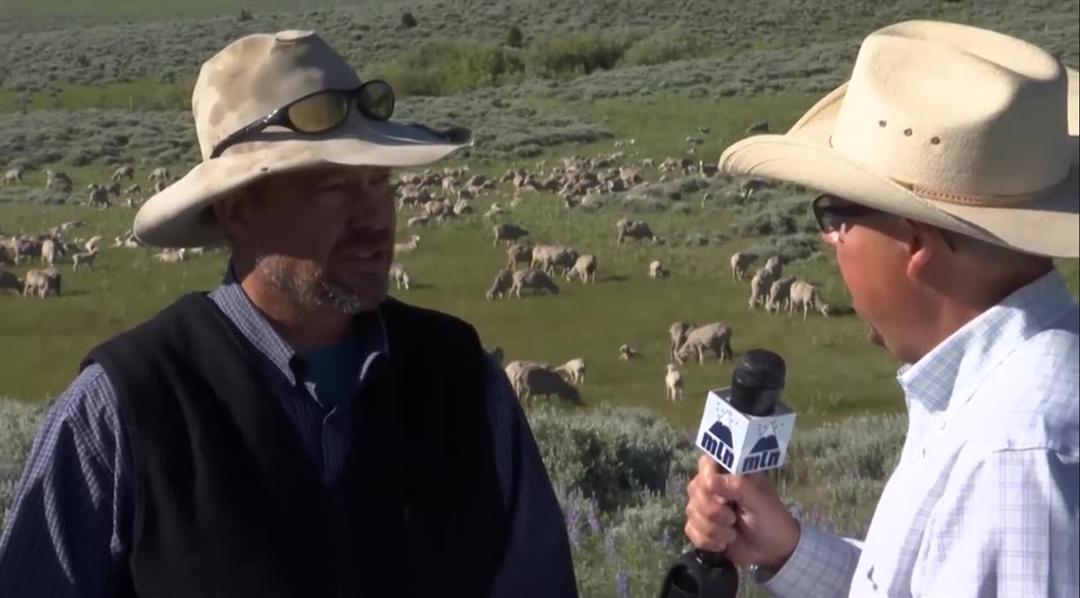 John Helle talks about sheep grazing. MTN News.