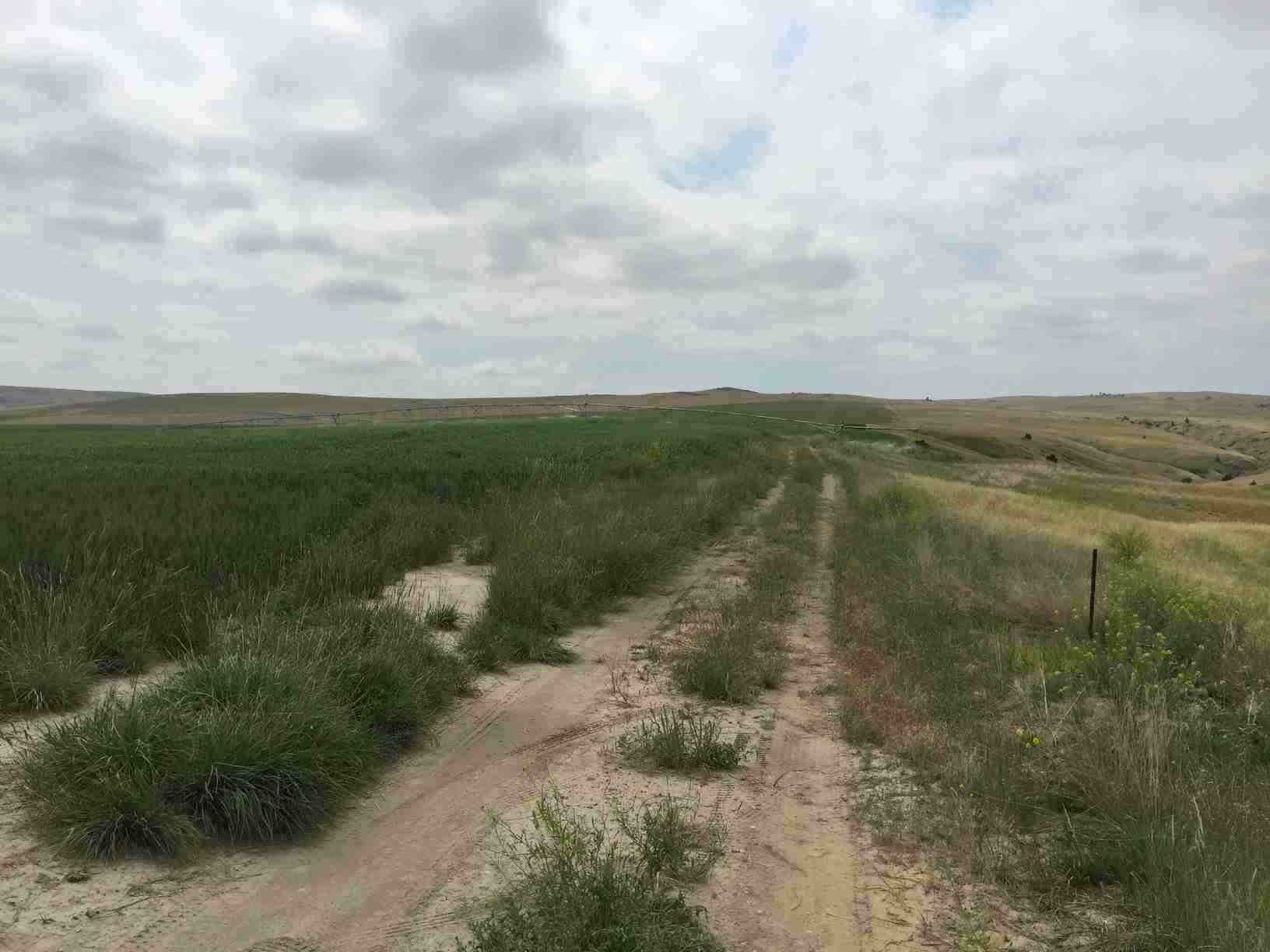 Pea field where Fitzpatrick's vehicle was found (MTN News photo)