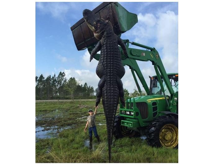 This massive and nearly 15-foot, 800-pound alligator was killed at Outwest