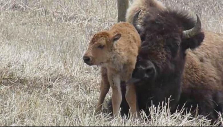 Bullock 39 s bison plan bison to roam free near west for Bison motors great falls