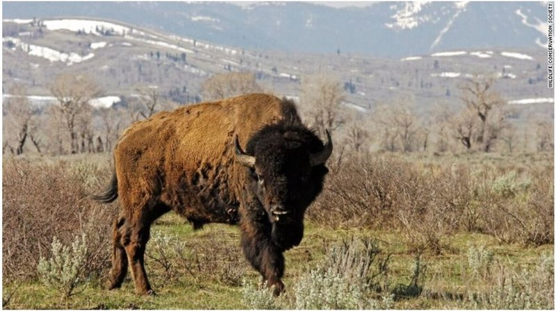 Bison closer to 39 national mammal 39 status after house vote for Bison motors great falls mt