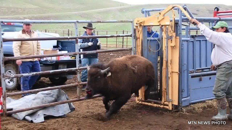 Blackfeet tribe aims to re introduce bison into the badger for Bison motors great falls