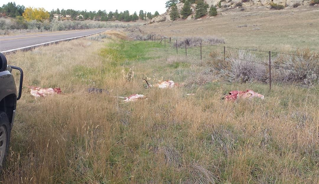 Fwp Antelope Dumped Illegally Left In Billings Heights