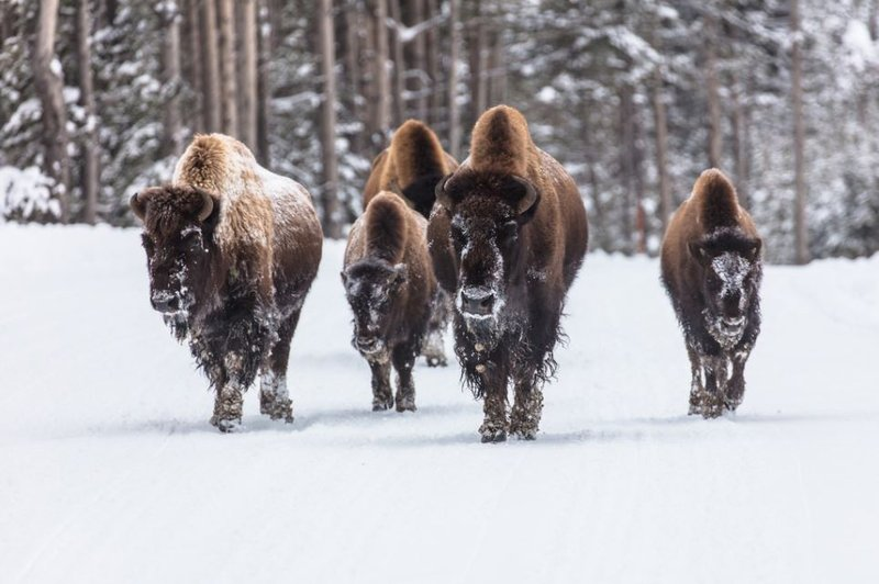 15 yellowstone bison sent to slaughter hundreds to follow for Bison motors great falls