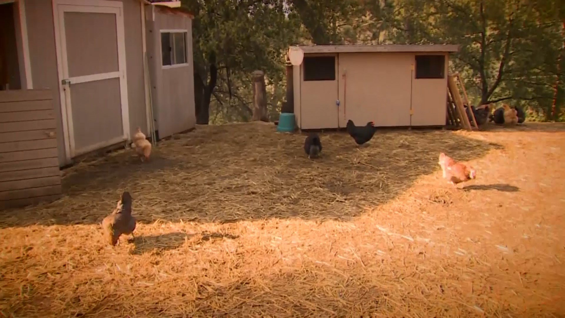 great falls residents to vote on allowing chickens in city limit