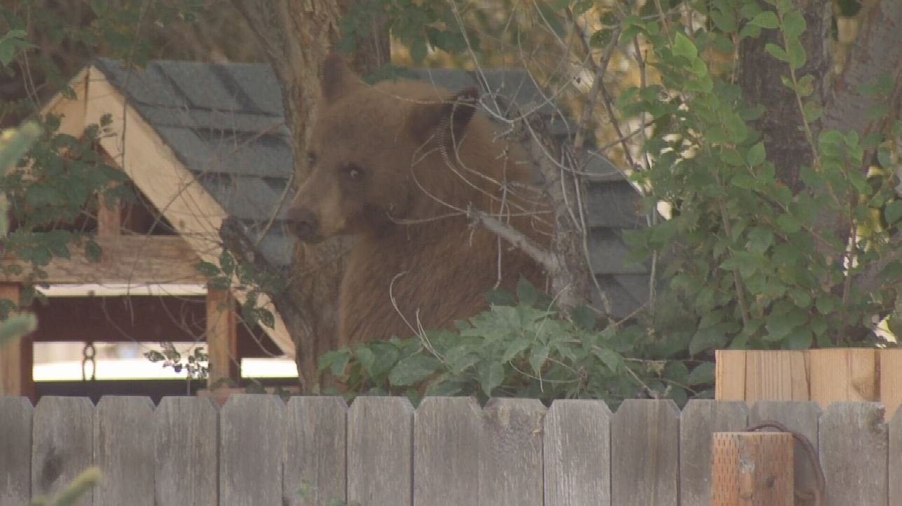 bear captured in billings heights euthanized ktvq com q2