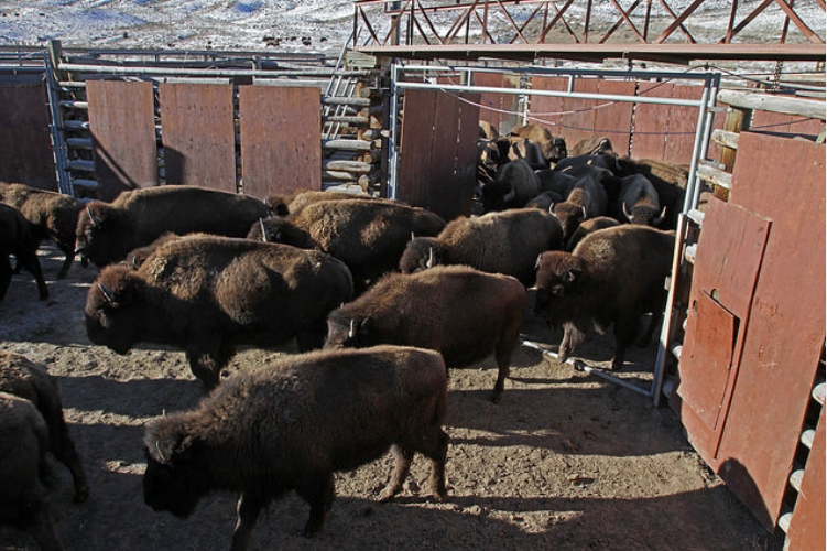3 charged in wyoming for tampering with stephens creek for Bison motors great falls mt