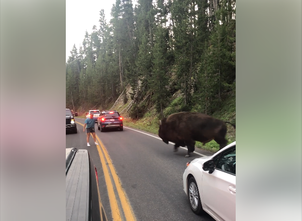 Man seen taunting bison at Yellowstone National Park has been arrested