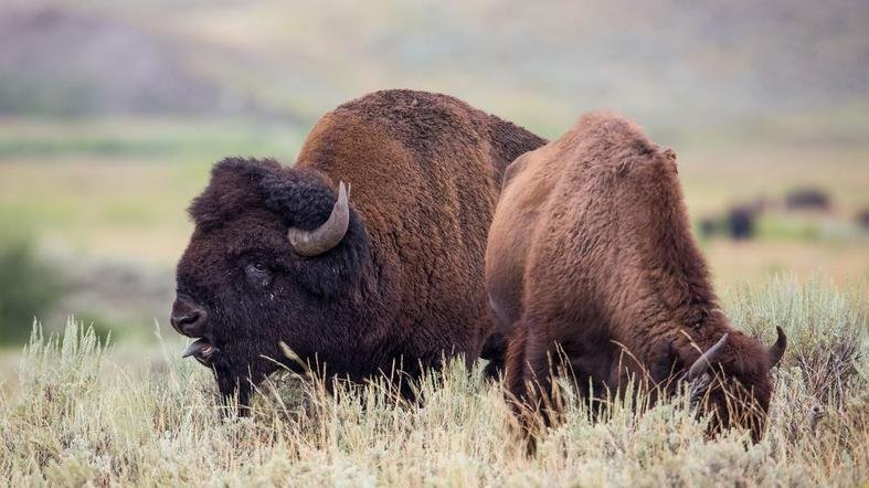 Australian man tossed by bison in yellowstone national for Bison motors great falls mt