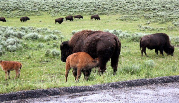 How close can i get to wild animals in yellowstone for Bison motors great falls mt