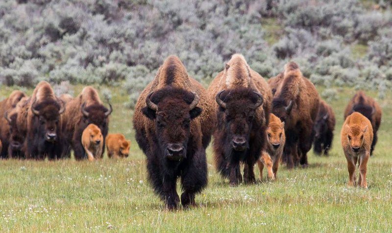 Yellowstone national park looks to thin bison herd ktvq for Bison motors great falls mt