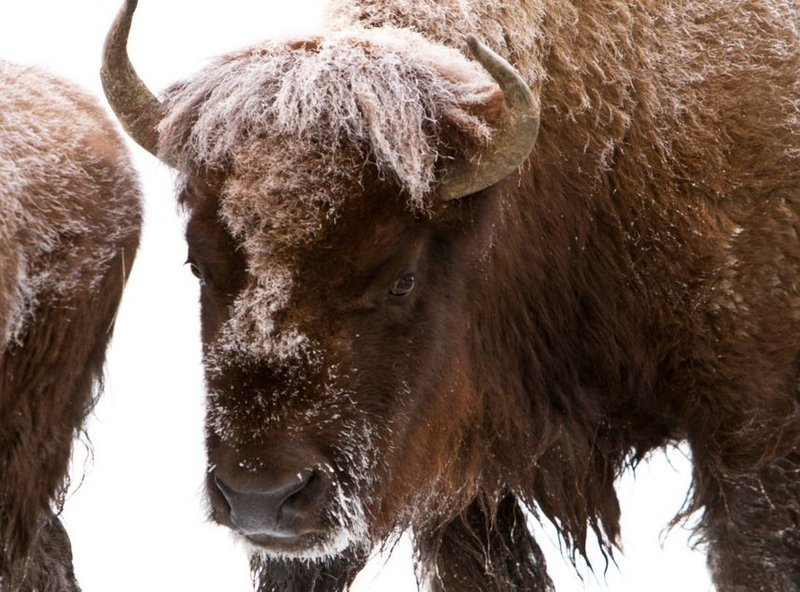Plan calls for reduction of bison population in for Bison motors great falls
