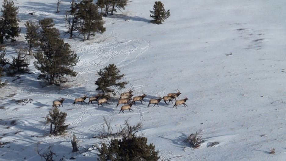 Wyoming game and fish counts elk in the bighorns krtv for Wyo game and fish