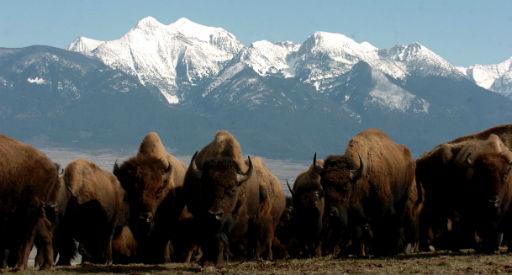National Bison Range May Move Toward Tribal Management